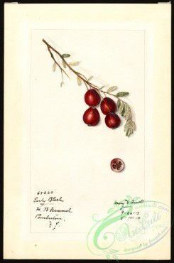 cranberry-00016 - 7171 - Vaccinium macrocarpon - Early Black