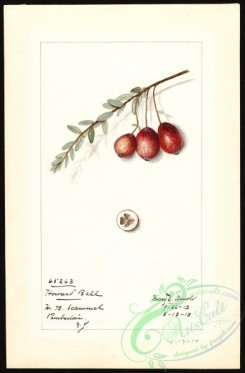 cranberry-00017 - 7172 - Vaccinium macrocarpon - Howard Bell