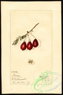 cranberry-00018 - 7173 - Vaccinium macrocarpon - Howes