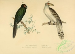 cuckoos-00002 - Greater Ani, Channel-billed Cuckoo