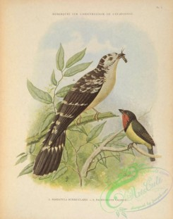 cuckoos-00009 - Black-collared Barbet, Thick-billed Cuckoo (validus)