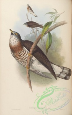 cuckoos-00024 - Powerful Cuckoo