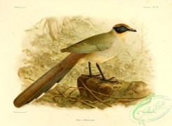 cuckoos-00033 - coua olivaceiceps
