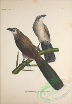 cuckoos-00118 - White-browed or Burchell's Coucal, centropus superciliosus