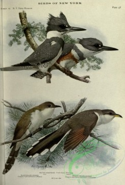 cuckoos-00160 - Belted Kingfisher, Black-billed Cuckoo, Yellow-billed Cuckoo