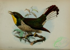 cuckoos-00165 - Yellow-throated Cuckoo, chrysococcyx flavigularis
