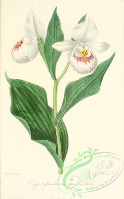 cypripedium-00008 - cypripedium spectabile