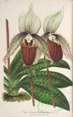 cypripedium-00018 - cypripedium veitchianum