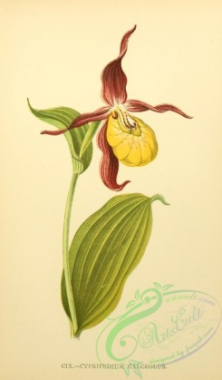 cypripedium-00021 - cypripedium calceolus