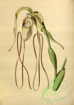 cypripedium-00022 - Long-tailed Lady's Slipper, cypripedium caudatum