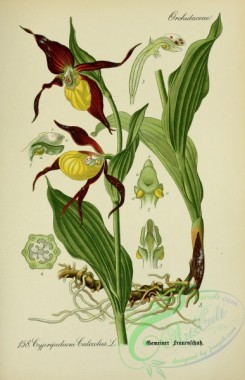 cypripedium-00023 - cypripedium calceolus