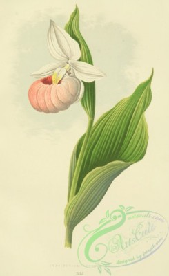 cypripedium-00026 - cypripedium spectabile