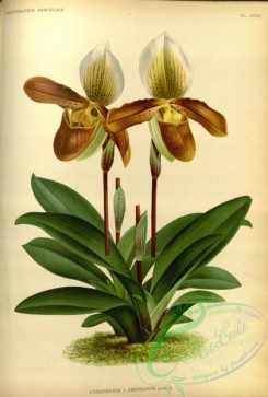 cypripedium-00028 - cypripedium crossianum