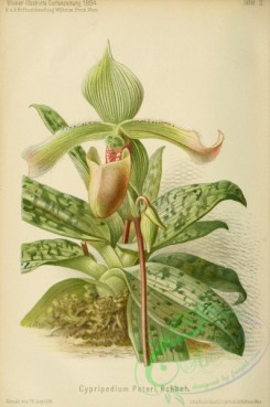 cypripedium-00030 - cypripedium peteri