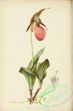 cypripedium-00047 - Stemless Moccasin Flower, cypripedium acaule