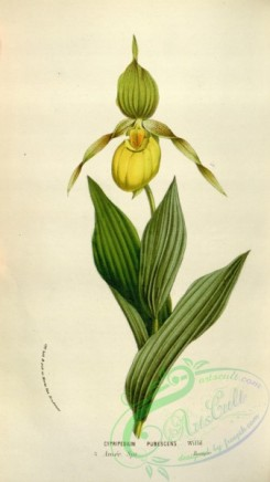 cypripedium-00059 - cypripedium pubescens
