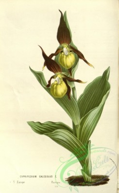 cypripedium-00062 - cypripedium calceolus