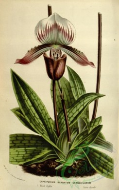 cypripedium-00069 - cypripedium barbatum grandiflorum