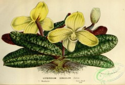 cypripedium-00072 - cypripedium concolor