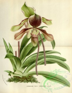 cypripedium-00074 - cypripedium harrisianum