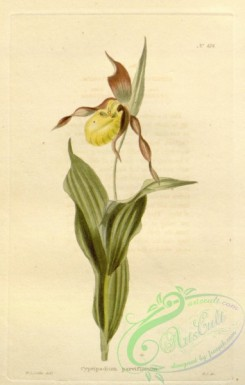 cypripedium-00091 - cypripedium parviflorum
