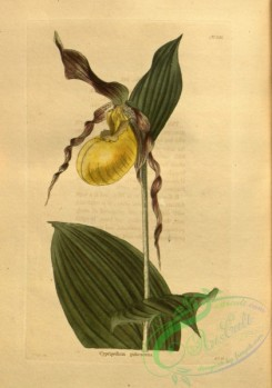 cypripedium-00094 - cypripedium pubescens