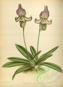 cypripedium-00225 - cypripedium fairrieanum