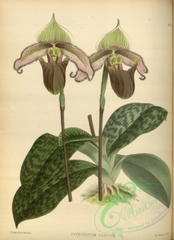 cypripedium-00229 - cypripedium curtisii