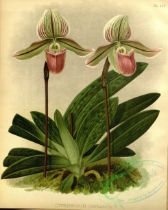 cypripedium-00234 - cypripedium orphanum