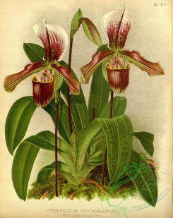 cypripedium-00235 - cypripedium pitcherianum