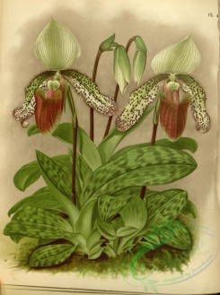 cypripedium-00251 - cypripedium superbiens