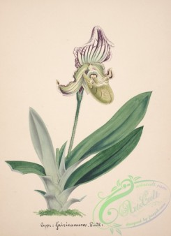 cypripedium-00252 - cypripedium fairieanum