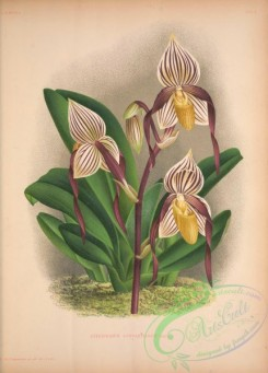 cypripedium-00269 - cypripedium cannartianum