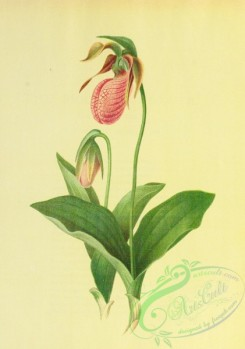 cypripedium-00300 - Moccasin Flower, Lady's Slipper, cypripedium acaule