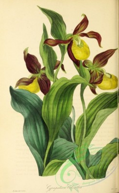 cypripedium-00301 - Common Ladies' Slipper, cypripedium calceolus