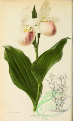 cypripedium-00304 - cypripedium spectabile
