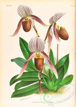 cypripedium-00315 - cypripedium selligerum majus