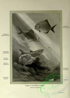 dinosaurs-00139 - black-and-white 011-Fishes of Permian Period, palaeoniscus, polyzoa, ammonoid, Lampshell, schizodus