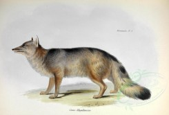 dogs_wolves_foxes-00008 - Magellanic aguara fox [3543x2396]