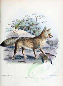 dogs_wolves_foxes-00019 - ASSE FOX [1998x2735]