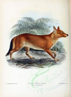 dogs_wolves_foxes-00053 - SOUTHERN DHOLE [2037x2798]