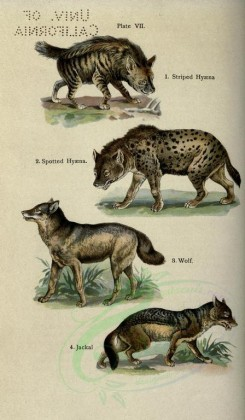 dogs_wolves_foxes-00060 - Striped Hyaena, Spotted Hyaena, Wolf, Jackal [2396x4106]