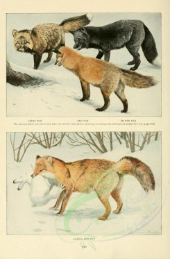 dogs_wolves_foxes-00061 - Cross Fox, Red Fox, Silver Fox, Alaska Red Fox [2419x3677]