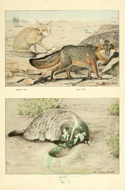 dogs_wolves_foxes-00062 - Desert Fox, Gray Fox, Badger [2419x3677]