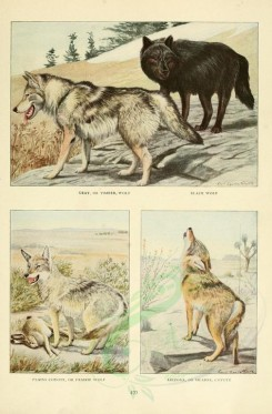 dogs_wolves_foxes-00063 - Gray or Timber Wolf, Black Wolf, Plains Coyote or Prairie Wolf, Arizona or Mearns Coyote [2419x3677]
