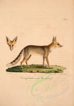 dogs_wolves_foxes-00074 - Ruppell's Sand Fox [2090x2993]