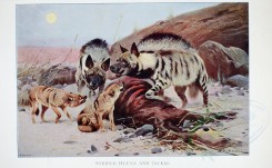 dogs_wolves_foxes-00075 - STRIPED HYAENA AND JACKAL [4014x2473]