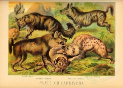 dogs_wolves_foxes-00076 - Aard Wolf, Brown Hyena, Spotted Hyena, Striped Hyena [3262x2327]