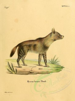 dogs_wolves_foxes-00092 - Brown Hyena [2304x3074]