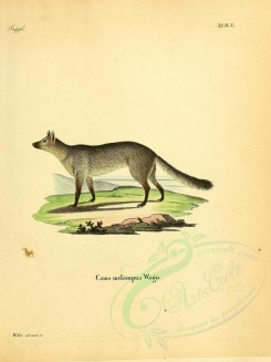 dogs_wolves_foxes-00095 - Crab-Eating Fox [2304x3074]